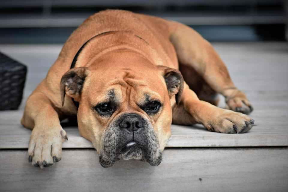 dog-animal-continental-bulldog-pet-451854.jpeg