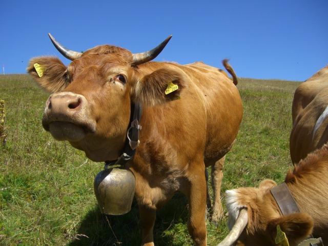 cow-245690